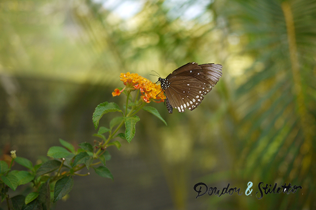 Chiang Mai Papillons