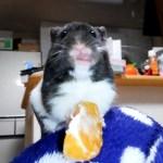 初めてミカンをあげると…!?おもしろ可愛いハムスターFunny Hamster ate a mandarin for the first time!