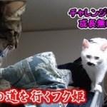 何故か危険な道を行く、猫フク姫(面白い&可愛い猫)