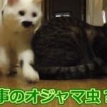 兄猫のお食事を邪魔する猫フク姫(面白い&可愛い猫)