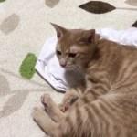 汗の臭いに執着する猫がかわいい