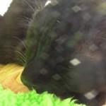 謎のエフェクトが掛かる、黒猫ビター(面白い&可愛い猫)