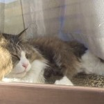 長毛の猫が窓に寄りかかるとおもしろい事になる! The face of a cat leaning against the window is funny