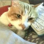 おっさんみたいな猫がお返事すのが可愛いんです♥♥猫との会話を楽しむ動画 Conversation with a talking cat