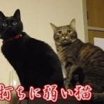油断し過ぎた?不意打ちに弱過ぎる黒猫ビター(面白い&可愛い猫)