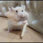 食べるのに夢中になりすぎた結果が笑える!おもしろ可愛いハムスターThe result that Funny hamsters got hooked on to eat!