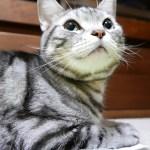 睫毛ふぁさ~♪おとんをじっと見つめる表情が可愛い猫