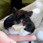 頬袋に限界まで詰め込んでみた!おもしろ可愛いハムスターFunny hamster packed the cheek pouch up to the limit!