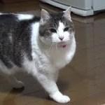 【猫とチワワの追いかけっこが面白い】Funny cats and dogs chase each other