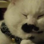 饅頭猫フク姫、隙間が大好きなようです(面白い&可愛い猫)