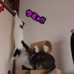 猫フク姫、押入れの天袋に登れるのか!?(面白い&可愛い猫)