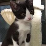 甘い鳴き声で甘える子猫がかわいい  My kitten is very affectionate