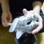 ブラッシングからのゴハン催促 かわいい声で鳴く猫