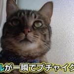 猫シシマル、ある事をすると若干ブチャイク顔に?(面白い&可愛い猫)