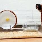 そわそわするハムスターがめっちゃ可愛い!おもしろ可愛いハムスターAn uneasy Funny hamster is cute when the hut is cleaned