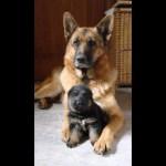 「感動動物」自分の子供を必死で守る犬・母犬と楽しそうに遊ぶ子犬たち