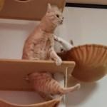 かわいい声を出さないと登れない猫w