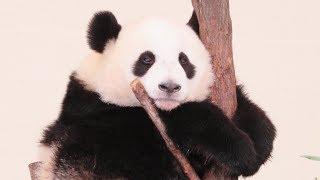 かわいい結浜♪ 元気にタイヤで遊んでいます♪ Giant Panda Yuihin🐼