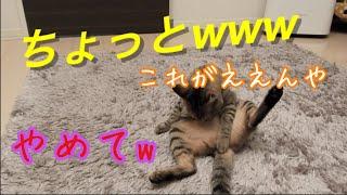 子猫の可愛い毛づくろいで癒さる動画 [子猫][保護猫][可愛い] A movie that heals with a cute hair of a kittens