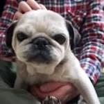 爪切りが嫌で、抵抗するパグがかわいい!Pug