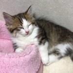 子猫が眠気に負ける様子がかわいい