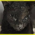 【感動】山火事に巻き込まれ大火傷を負った猫!奇跡の生還は人々に希望と勇気を与えた!【世界が感動!涙と感動エピソード】