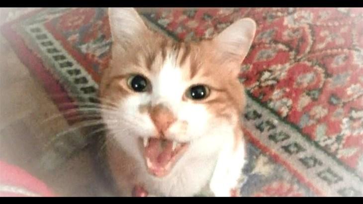 ハイテンションで走る時も喋る猫が可愛い!掛け声が大事な猫