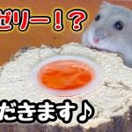 【ハムスター】昆虫ゼリー食べれるの⁉️食べ方がかわいい😆💕おやつあげてみた🌟