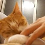 【カワイイ!】飼い主の横が定位置のネコ【すず/コテツ】