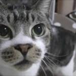 ニャーニャー可愛い声で鳴く猫☆いい匂いにソワソワ!クンクンが止まらない猫リキちゃん【リキちゃんねる 猫動画】Cat video キジトラ猫との暮らし