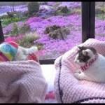 【のらはくーの面白いことを見たりして穏やかな時間が過ぎていきます】The spring days of cats and dogs are peaceful.