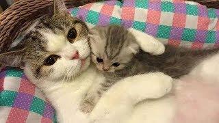 「猫かわいい」 母親と遊んでいる子猫 – 最も面白い猫の映画2018 #151