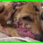 【感動】傷だらけで衰弱し痛々しい状態で保護された犬は、献身的な愛情と治療によって驚異的な変化を遂げる!【世界が感動!涙と感動エピソード】