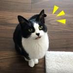 おやつ皿を見せたときの猫の反応がかわいい