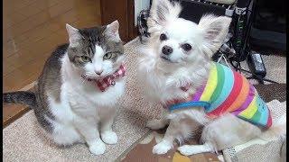 【猫はなにをしても面白い】What the cat does is funny