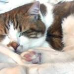猫の夢の中での甘えた寝言が可愛い!声も大きいのですW ♥♥猫との会話を楽しむ動画 Conversation with a talking cat