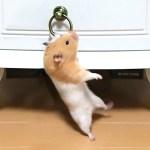 全力で飛びつく筋トレハムスターがすごい!おもしろ可愛い癒しハムスターMuscle trekking hamster that jumps in a ring is amazing!