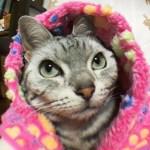 あざと可愛いグレーの目をした猫 ~お魚の目で見た❤あめちゃん  -Cat's Beautiful Gray Eyes Were Taking Video By FISH-EYE LENS CAMERA