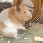 ハムスターがボロボロになった理由!おもしろ可愛い癒しハムスターReason why the hamster became worn out !