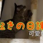 寝起きの爪研ぎが可愛い子猫さん [子猫][保護猫]