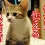 かわいい子猫が突然お家にやってきた-その時、先住猫達は・・・?!6日目-kitten came to our house 7