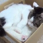 【段ボールの中に入っているのらが可愛いです】A cat in a cardboard box is cute