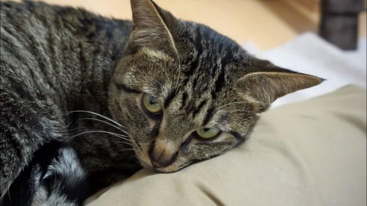 パパの足が枕♪ 眠気を我慢する猫が可愛い!【すずとコテツ】