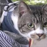 猫とおでかけ☆周りをキョロキョロ見回す姿がかわいいリキちゃん☆夕暮れの公園を猫と散歩④ペットとおでかけにおすすめ!スリングバッグ【リキちゃんねる 猫動画】Cat video キジトラ猫との暮らし