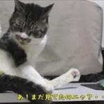 グルーミングに必死になるとすごいポーズになっちゃう猫リキちゃん☆セクシーポーズ?サービスショット?ずっと見てるとハッとするのが面白い【リキちゃんねる 猫動画】Cat video キジトラ猫との暮らし