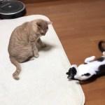 おもしろい威嚇をする子猫に戸惑う猫  The cat is confused