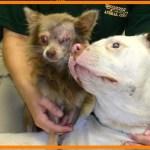 【感動】片目のチワワに寄り添うピットブル。常に寄り添う2匹の犬の深い絆に胸が熱くなる…【世界が感動!涙と感動エピソード】