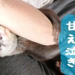 カワウソ コタロー 鳴き声カワイイ!寝起きはとっても甘えん坊 Kotaro the Otter just woke up and crying