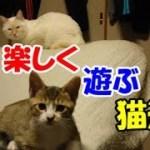 かわいい猫とおもしろ楽しく遊ぼう13-ラファエル&ガブリエル編