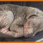 【感動】店先に放置され誰も近寄らない病気を抱えた犬。保護され治療が始まると劇的に美しい姿に!【世界が感動!涙と感動エピソード】